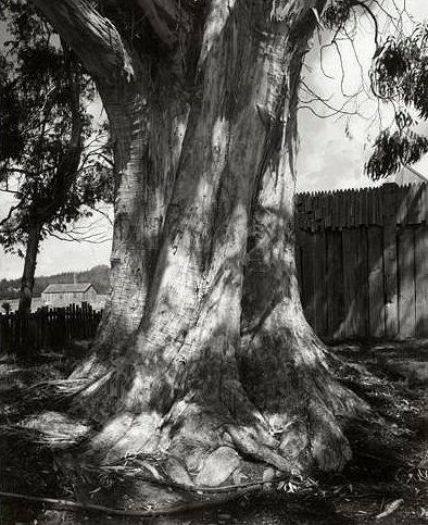 Ansel Adams, Eucalyptus Tree