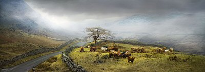 David J. Osborn, Cattle, Kirkstone Pass, Cumbria