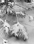 Ansel Adams, Branches in Snow