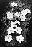 Ansel Adams, Dogwood Blossoms (SOLD)