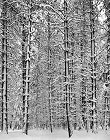 Ansel Adams, Trees and Snow (SOLD)