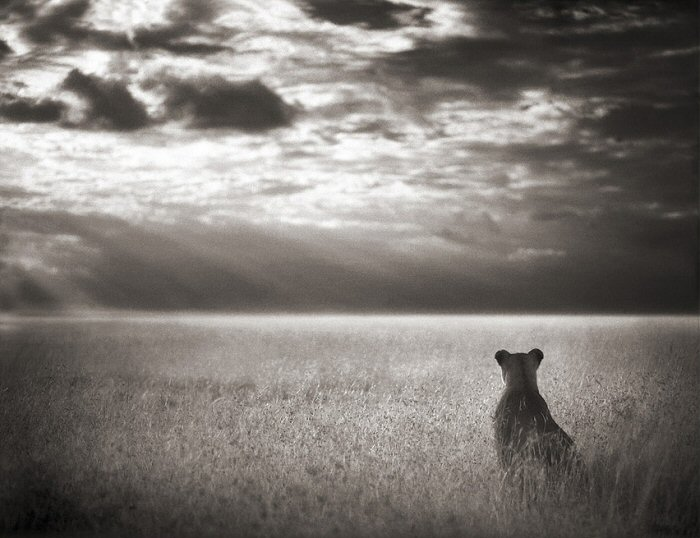 Nick Brandt, Lioness Looking over the Plains