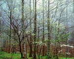 Christopher Burkett, Dogwoods, Forest and Mist