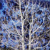 Christoper Burkett, Glowing Winter Aspen
