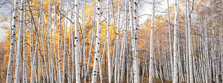 Christopher Burkett, Golden Aspen Glade