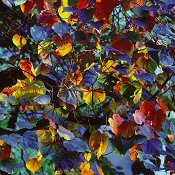 Christopher Burkett, Resplendent Leaves at Sunset