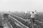 Jenny Ellerbe, Strawberry Pickers