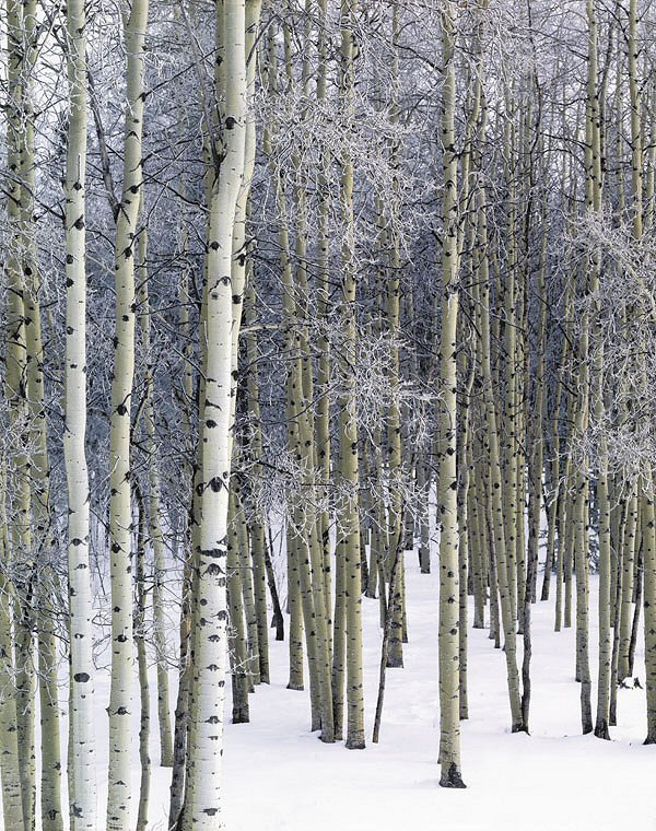 Keith Logan, Aspen Grove with Frost