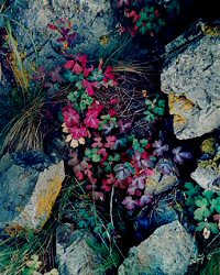Eliot Porter, Columbine leaves