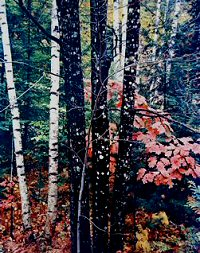 Eliot Porter, Trunks of maple and birch with oak leaves