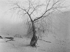 Tree, White Sands